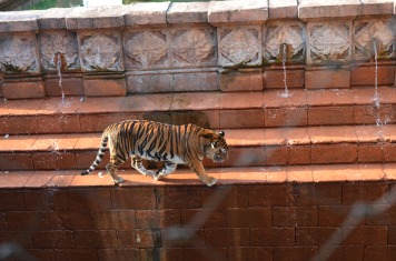 A Tiger we saw in the Asia section