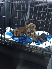 Marley coming home from the humane society.