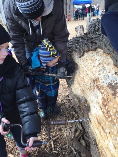 Aiden drilling for sap at the Maple Syrup Festival at Bradley Museum.
