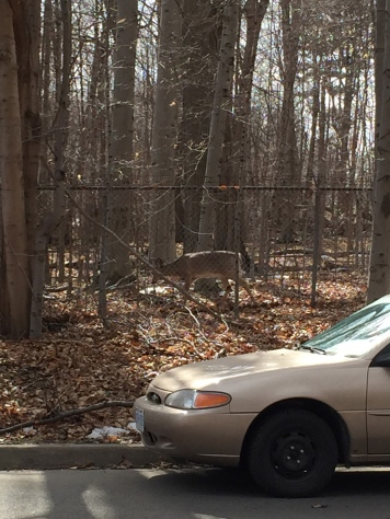 A deer outside of the Bradley Museum