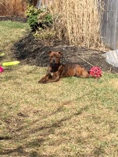 Marley enjoying the yard without snow.