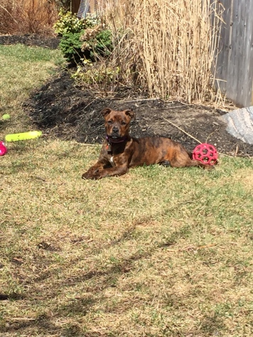 Marley enjoying the yard without snow.