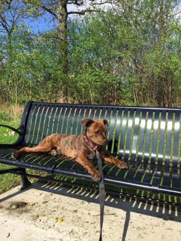 Marley taking a break during a walk.