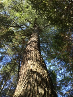 A beautiful old White Pine that we saw on our walk on Sunday afternoon
