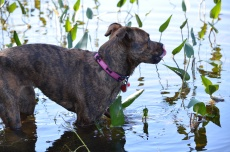Marley in the river