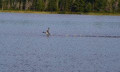 Loon taking off