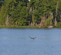 Loon flying