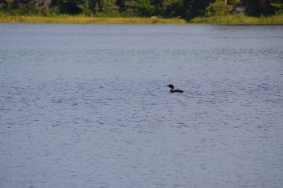 Loon in Marten River