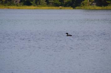 Loon in Marten River