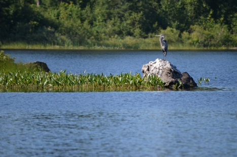 Heron perched in Marten River