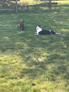 Marley & Lindy laying in their new yard