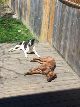 Marley & Lindy relaxing on deck in Mississauga