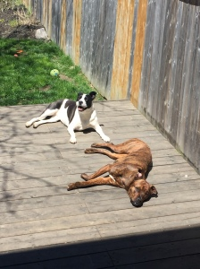 Lindy and Marley sunbathing on the deck in Mississauga