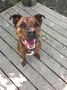 A happy Marley at the dog park
